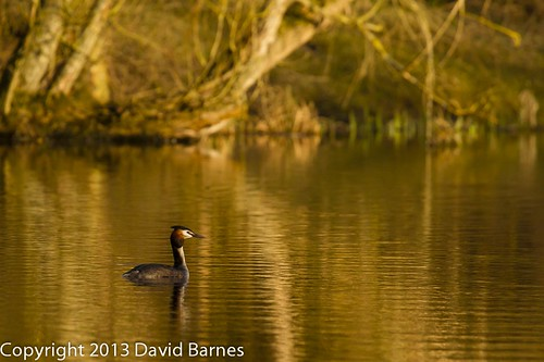 20130406_great_crested_grebe_1D48760