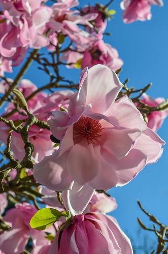 <p><i>Magnolia sprengeri</i> 'Copeland Court', Magnoliaceae<br /> Lyndhurst, Burnaby, British Columbia, Canada<br /> Nikon D5100, 18-55 mm f/3.5-5.6<br /> April 1, 2013</p>