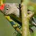 ruby-crowned kinglet (regulus calendula)