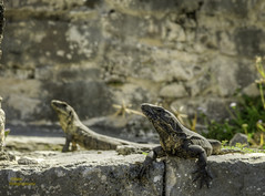 Tulum Lizards
