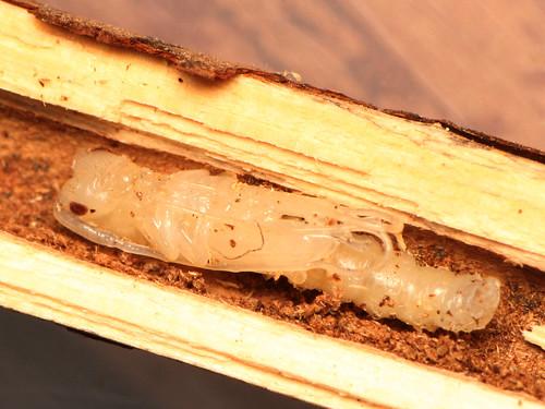ドウボソカミキリ蛹