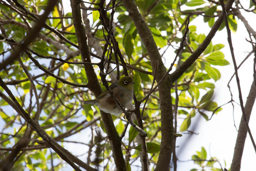 Silvereye or Wax-eye?