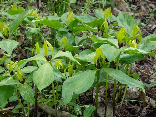 Wateree Trillium
