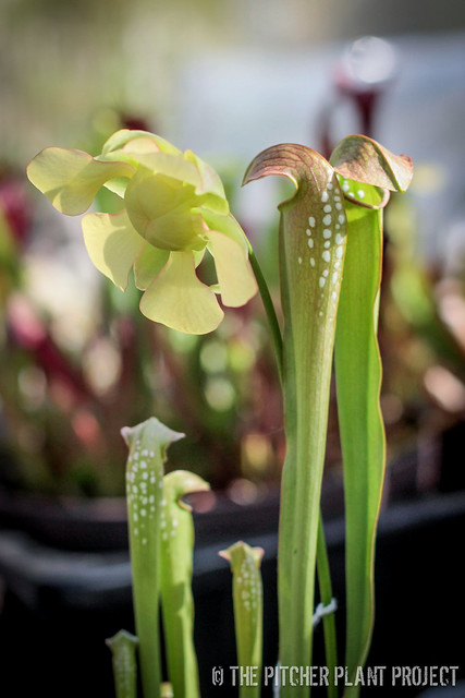 "Sarracenia minor var. okefenokeensis x ""Green Monster"" - Clone 3"