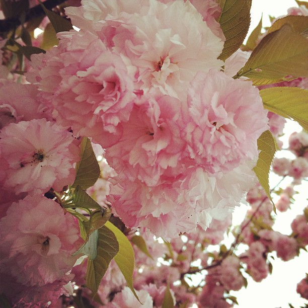 Most of the trees are all green now, but these outside of work are pink and fluffy and beautiful! #spring #flowers #pretty #nature