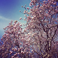Magnolias in New York City