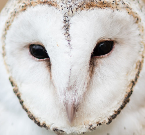 Spotted Snow Owl