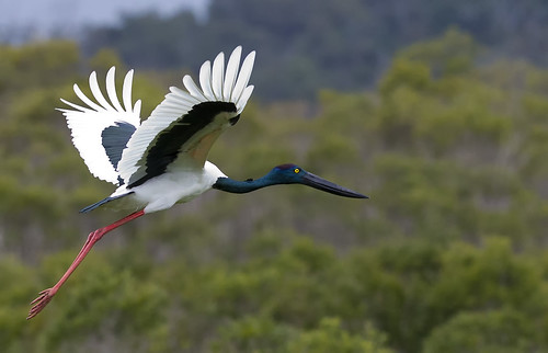 jabiru female 2