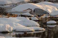 Great Blue Heron-47978.jpg by Mully410 * Images