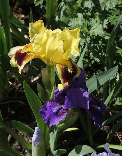 Iris nain Banburry Ruffles (2)