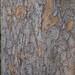Garden Inventory: Chinese Elm (Ulmus parvifolia) - 02