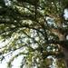 Garden Inventory: Chinese Elm (Ulmus parvifolia) - 08