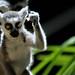 lemur success kid by mugley