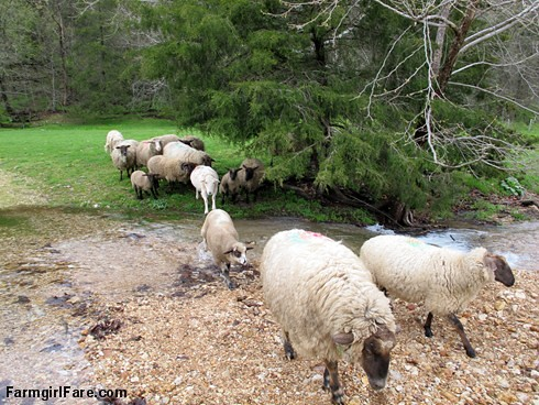 Sheep heading out to eat breakfast (7) - Nothing to do but splash on through - FarmgirlFare.com