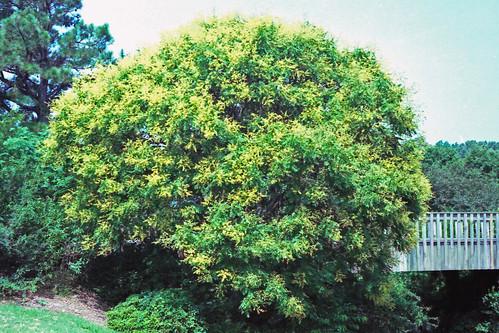 Goldenrain Tree by bahayla