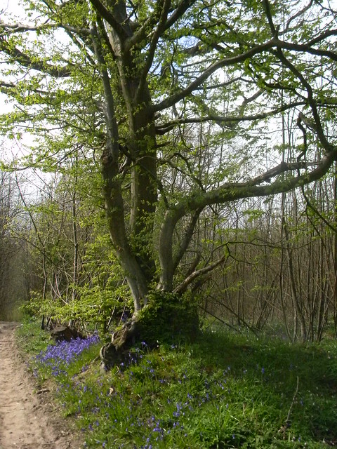 Gnarled tree and bluebells