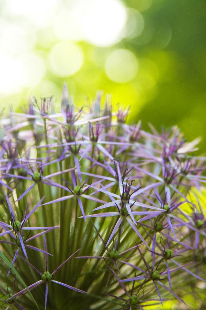 Allium cristophii starburst 2