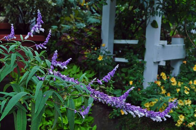 Salvia leucantha (2)