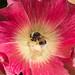 _9083272 Bumble bee on Alcea rosea .jpg by JorunT