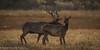 Elk Foreplay