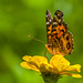 Small photo of American Painted Lady