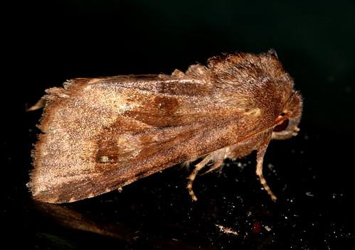 lepidoptera moth upperpeninsula michigan