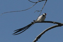 Pin-tailed Whydah, Vidua macroura, Santiago Oaks Regional Park, Orange California, Photo by Wes