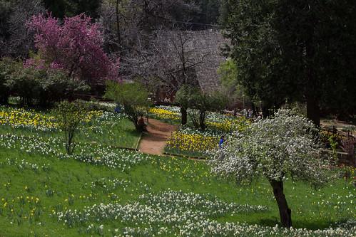 Daffodil Hill-8