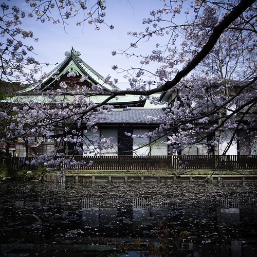 Cherry Blossom with Pond, Ichikawa 2013