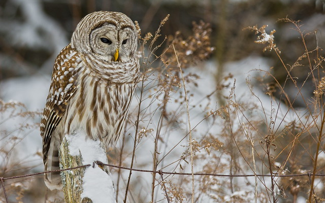 Barred Owl at Her Post (crop)