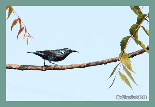Purple Sunbird by ShubhenduPhotography