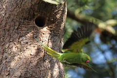 Ring-necked Parakeet investigating nest hole in Kew Gardens (6)