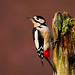Great-spotted woodpecker by Chas Moonie-Wild Photography