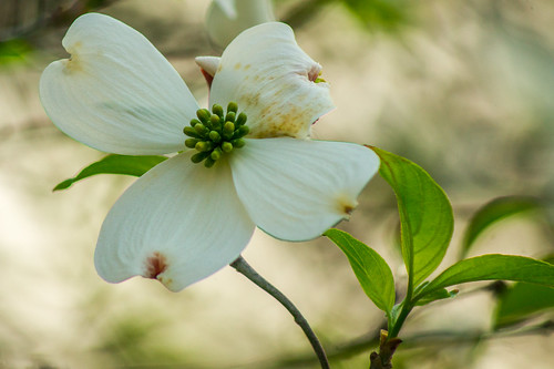 Dogwood time