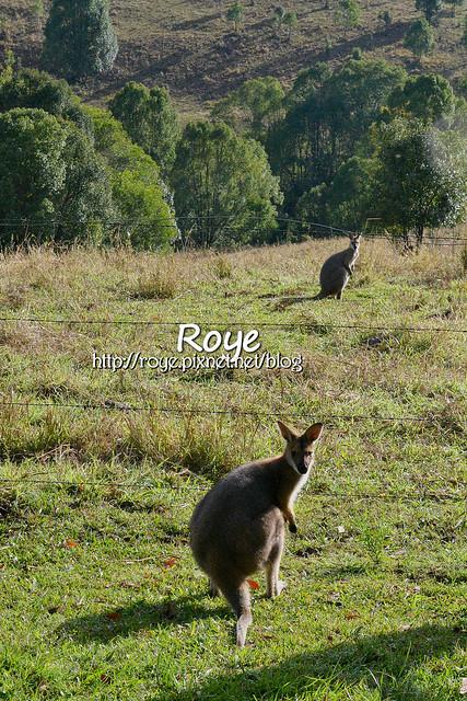 Australia, Nimbin, Kangaroo