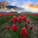 Red Tulips and Orange Sky, Skagit Valley, Washington