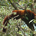 Red Panda (Robert South)
