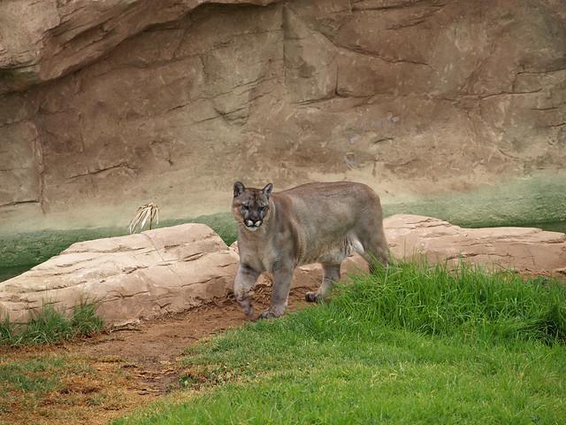 Puma Rancho Texas Lanzarote Park Flickr Sharing