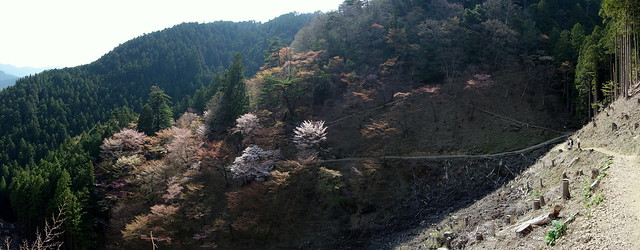 Sakura @Yoshinoyama