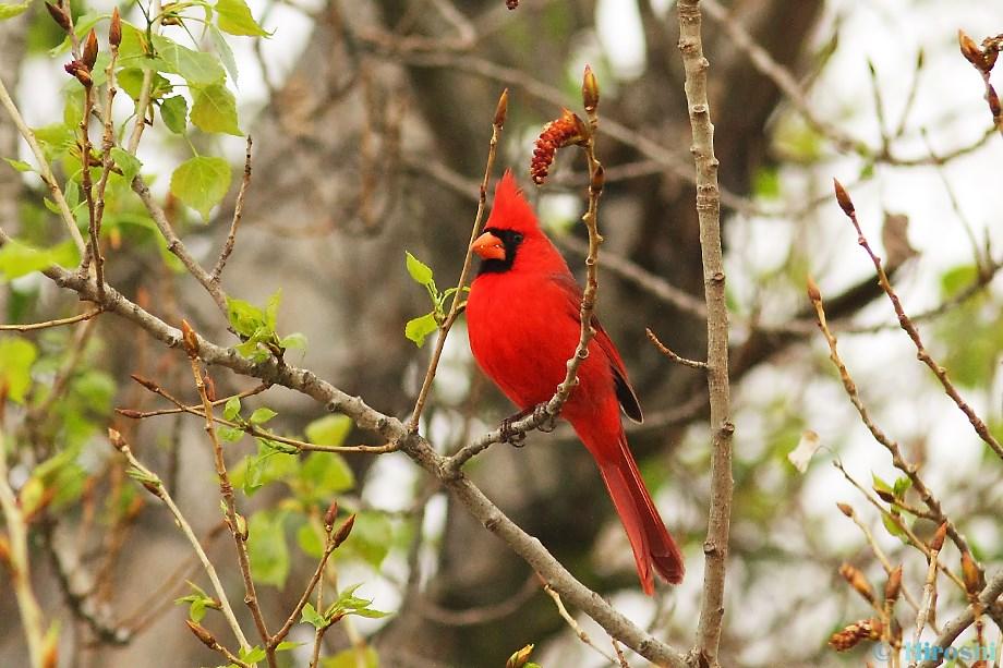 Northern Cardinal 042013-2