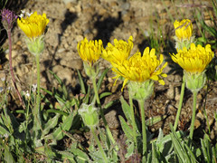 annual plant, flower, yellow, plant, sow thistles, flatweed, herb, wildflower, flora,