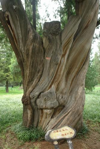 Uno de los árboles más antiguos del complejo Templo del Cielo de Pekín, perfección entre tierra y cosmos - 8664935813 72623becd2 - Templo del Cielo de Pekín, perfección entre tierra y cosmos