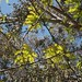 Garden Inventory: Honey Locust - 09