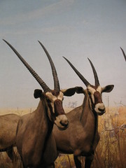 trophy hunting(0.0), animal(1.0), antelope(1.0), gemsbok(1.0), mammal(1.0), horn(1.0), fauna(1.0), oryx(1.0), wildlife(1.0),