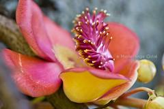 Seychelles, fleur de l'arbre 'cannonball tree'