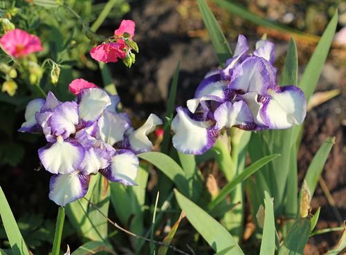 Iris - floraisons 2011 8666715514_73bece1f15