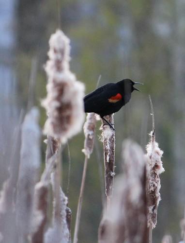 redwingblackbird03