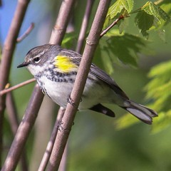 Yellow-rumped Warbler. Photo taken at Vassar Farm.  #birds #instabirds #most_deserving #birdsofinstagram #natureonly #ilovebirds #best_birds_of_instagram #igbirdfreaks #birdphotos #birdphotographs #nature #naturephotos #ilensdaily #wildlife #wildlifephoto