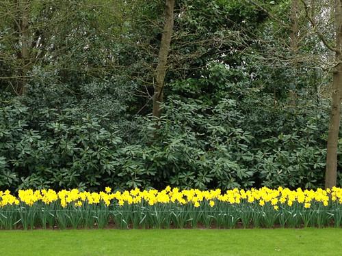Keukenhof - daffodil border