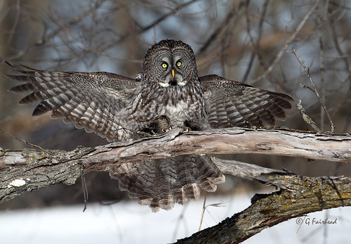 Lateral Motion  / Vertical Movement/  Great Grey Owl